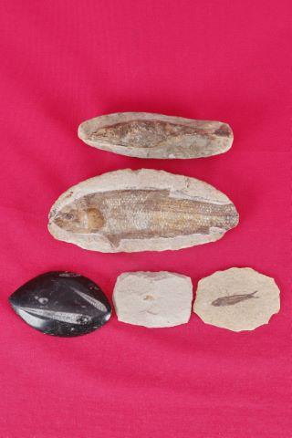 Ensemble de 5 fossiles